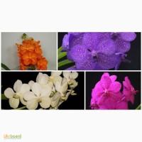 Орхидея, ванда, vanda