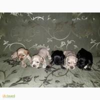 Продам Американских кокер спаниелей щенков