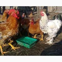 Інкубаційне яйце Редбро, купити Інкубаційне яйце