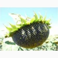 Семена подсолнечника Тунка, ЛГ 5580, ЛГ5633КЛ