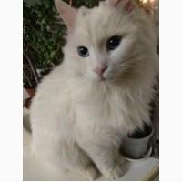 Продам кота породы Турецкий Ван