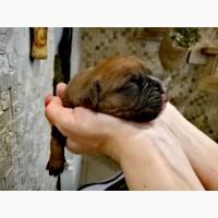 Продаётся щенок немецкого боксера