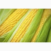 Покупаю кукурузу