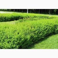 Продам саженцы Барбариса и много других растений (опт от 1000 грн)