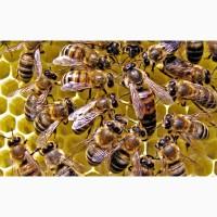Пчелосемьи продам Новая Каховка