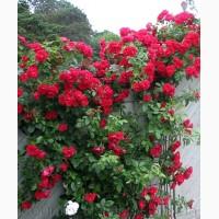 Продам саженцы Розы, в наличии огромное количество сортов