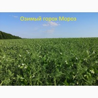 Семена гороха озимого Мороз 1-реп. (Сербия)