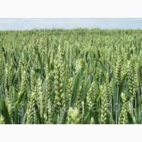 Семена пшеницы СТРУНА МИРОНОВСКАЯ элита 1 репрод