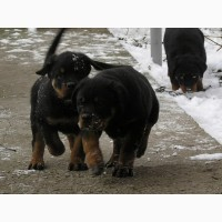 Высоко-породные щенки РОТВЕЙЛЕРА