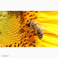 Продам пчелы.Одесса