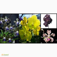 Орхидея, Ванда, vanda, Ascocenda