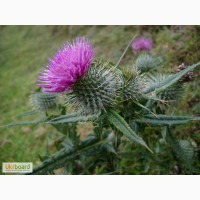 Татарник цвет 50 грамм