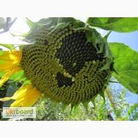 Ультраскоростиглі гібриди соняшнику
