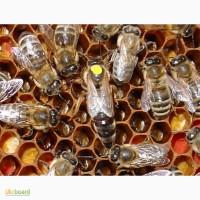 Матка Карпатка 2020 ПЛІДНІ БДЖОЛОМАТКИ ( Пчеломатки, бджолині матки )