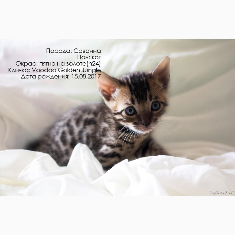Фото 2/3. Котята Саванны