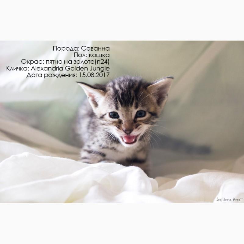 Фото 3/3. Котята Саванны