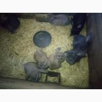 Продам кроликов породы Французский Баран и Калифорнийцев