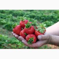 Продам рассаду Клубники и много других растений (опт от 1000 грн)