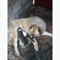 Продам щенков кавказкой овчарки