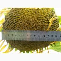 Златибор - купити насіння соняшнику, NS seme