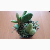 Продам композицию из кактусов Боливия