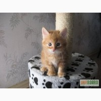 Питомник Magical Lynx предлагает к резервированию котят курильского бобтейла.