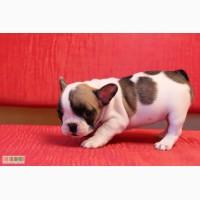 Продам щенки французский бульдог