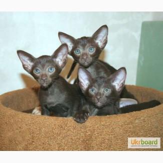 Ориентальные котята - море позитива