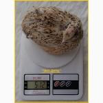 Яйца перепела инкубационное Феникс Золотистый - бройлер и молодняк
