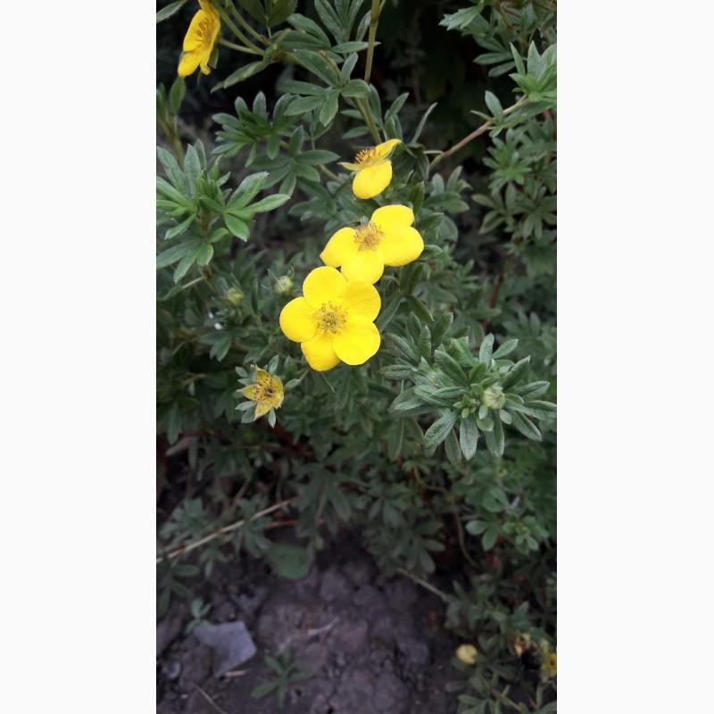 Фото 2. Лапчатка курильский чай белая и желтая