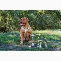 Предлагаем к резерву щенков Бордоского дога (Dogue de Bordeaux) или Французский Мастиф