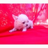 Чихуахуа щенки белого окраса