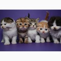 Шотландские котята страйт и фолд, мальчики и девочки