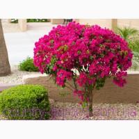 Продам саженцы Бугенвиллии и много других растений (опт от 1000 грн)