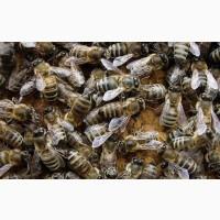 Пчелопакеты-Пчеломатки