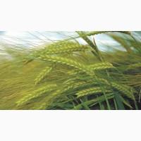 Семена озимого ячменя Снежная Королева, 90-100 ц/га