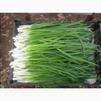 Продам лук зелёный