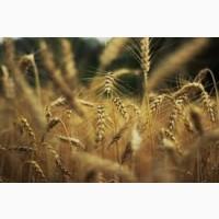 Оптом купуємо пшеницю, продовольчу та фуражну