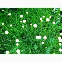 Сантолина зеленая и сизая ароматная