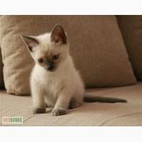 Продаю котика тайского