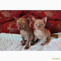 Продаю котят породы Бурма