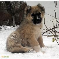 Продается щенок кавказской овчарки (девочка).