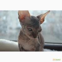 Продам котят породы канадский сфинкс
