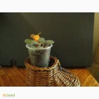 Камнеломка плетеносная- красивое ампельное растение