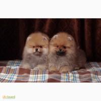 Продаются щенки померанского шпица мальчик и девочка