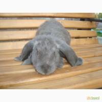 Продам кролей французский баран