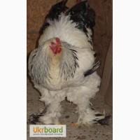 Продам курчата, інкубаційне яйце курей породи