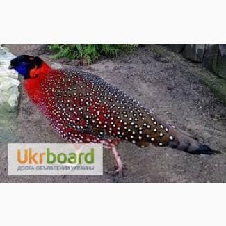 Продам фазана Трагопан Сатир