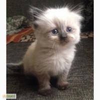 Котята чистокровные - Рэгдолл