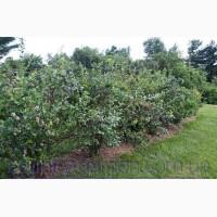Продам саженцы голубики и много других растений (опт от 1000 грн)